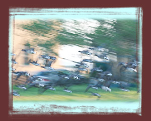 blurred shot of Canadian Geese taking off in flight