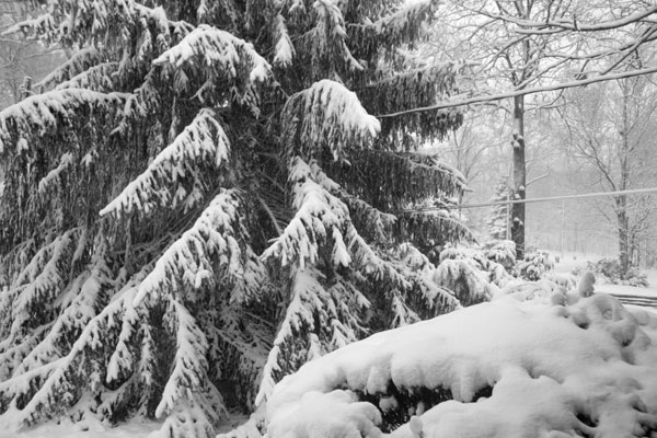 Big snow covered pine tree